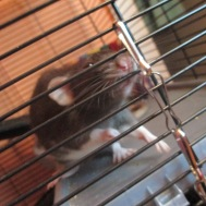 Oh Sinai what a cute rat you are.